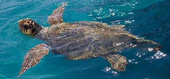 sea turrtle